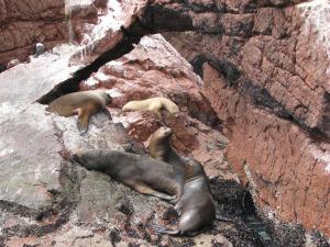 Mõned laisklevad ja mõnulevad merilõvid Ballestase saarte merilõvide kolooniast. Meid, paadituriste, ei teinud nad kuulma ega nägema.