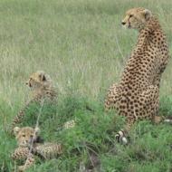 Tansaania: Vapper ja tubli gepardimamma oma kutsikatega Serengeti varahommikus.