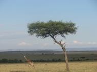 Keenia: Kaelkirjak Maasai Mara hommikus.