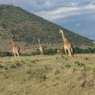 Keenia: Sööma, sööma, sööma Maasai Maras. Seltsis segasem.