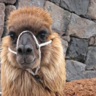 Peruu: Laama – iludus ja peruulaste töö-, kodu-, villa- ja lemmikloom.