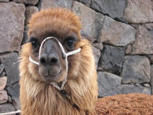 Laama – peruulaste töö-, kodu-, villa- ja lemmikloom. Iludus kah veel kõigele lisaks. See kaameli sugulane suudab mööda kiviseid kõrgmäestikuradu vedada päevas kuni 50 kg koormat 25 km.