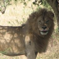 Keenia: Keskpäevane imeline kohtumine loomade kuningaga Maasai Maras.
