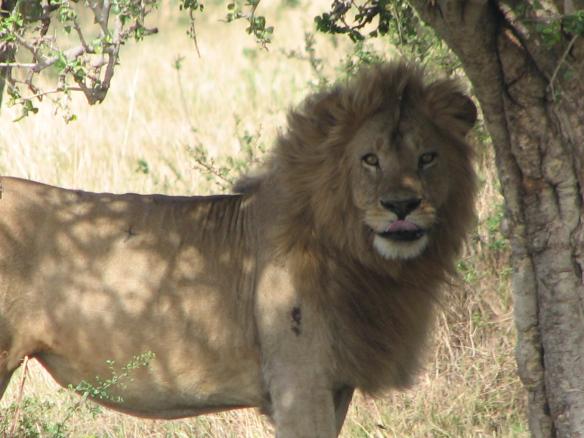 lõvi limps