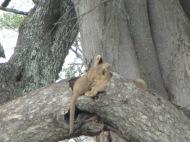 Tansaania: Tõelised nupsikud – lõvikutsikad teineteise kaisus puuõõnsuses magamas.