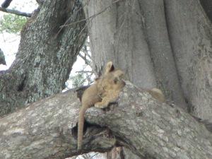 Tõelised nupsikud – lõvikutsikad teineteise kaisus puuõõnsuses magamas, seni kuni ema puu all kõrges rohus käppi sirutab.