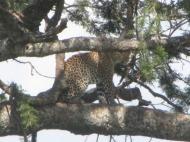 Tansaania: Rosetikujuliste täppidega leopard puu otsas keskpäevavilus.