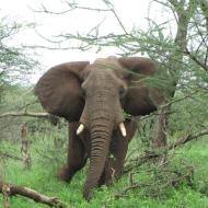 Tansaania: Üksik isane elevanditaat oma pehmetel sammudel otse meie poole astumas.
