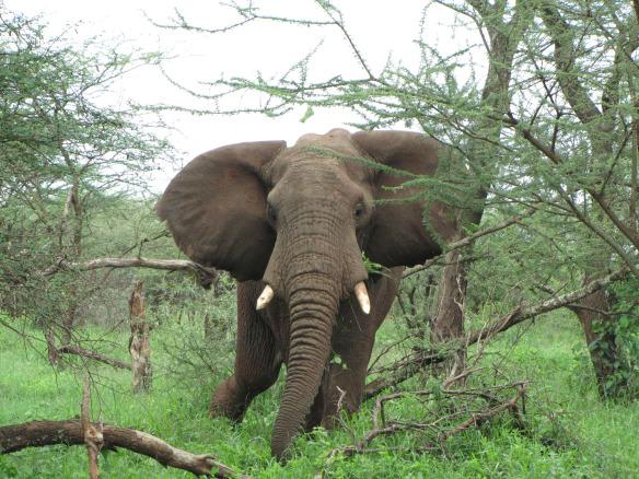 Üksik isane elevanditaat oma pehmetel sammudel otse meie poole astumas.