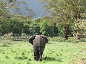 Ja sealt ta meist Ngorongoro kraatris mööda sammus. Nukralt ja väsinult.