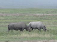 Tansaania: Hävimisohus teravmokk-ninasarvikud Ngorongoro kraatris.