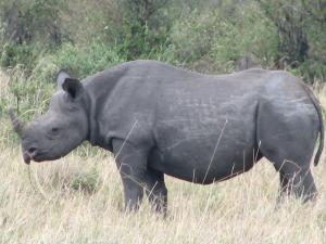 Teravmokk-ninasarvik täies ilus. Serengeti savannis.