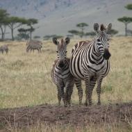 Keenia: Sebra – musta karva ja valgete triipude, mitte valge karva ja mustade triipudega hobuse sugulane.