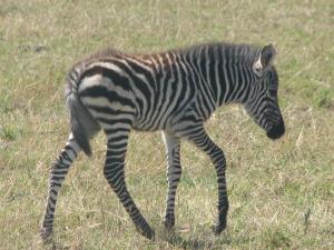 Vaid mõnepäevane sebralaps Maasai Maras, kelle triibud veel pruunid, mitte mustad on.