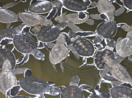 Ühepäevased beebid Bentota merikilpkonnade turvakodus.