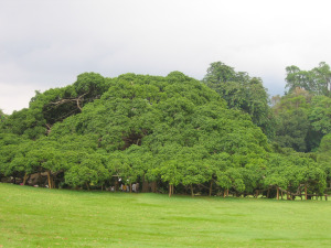See kõik on üksainus puu – viigipuu Kandy botaanikaaias.