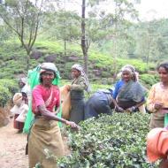Sri Lanka: Tamili naised teelehti noppimas.