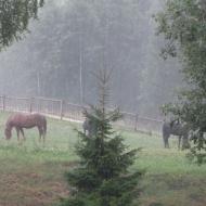Eesti: Lõuna-Eesti hobused sooja suvevihma all.