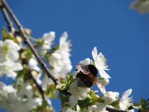 mesimumm koduaia õunapuuõiel.