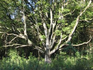 iidne puu Bad Bollis Saksamaal.