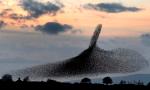 Starlings in the Scottish Borders. Nov, 2015. foto: www.theguardian.com.