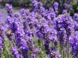 00-lavender-the-fitness-connection